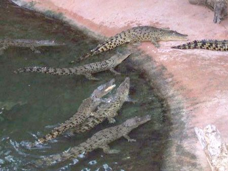 Animaux - Crocodiliens - présentation et espèces -