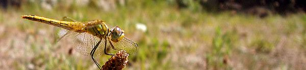 Animaux - Insectes - Les libellules et demoiselles -