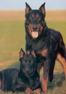 animaux de compagnie - Chiens - le Beauceron -
