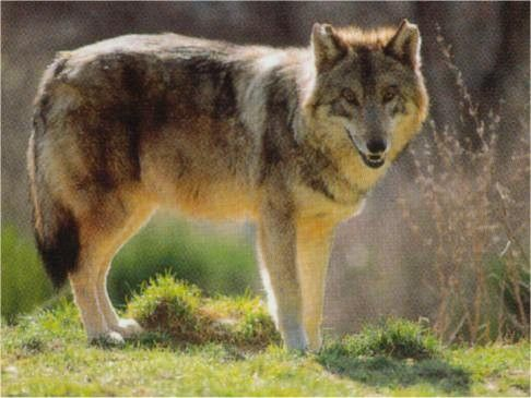 Animaux - le Loup - répartition,classification,