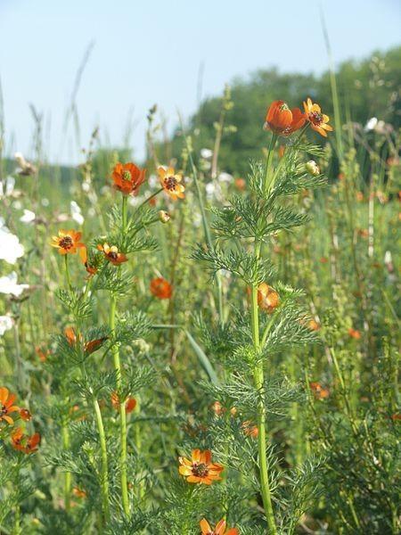 Espèces végétales protégées - En Alsace - Adonis d'été -