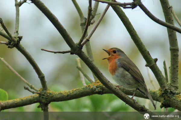 Animaux - Oiseaux - Le rouge gorge -