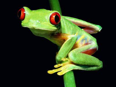 Animaux - Batraciens,amphibiens - Rainette aux yeux rouges