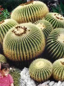 Cactées et plantes succulentes - Coussin de belle mère -