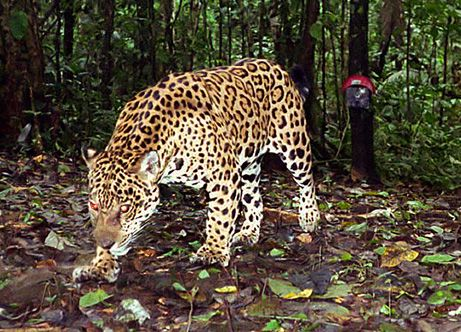 090128-01-jungle-animals-amazon-jaguar-pictures_461.jpg