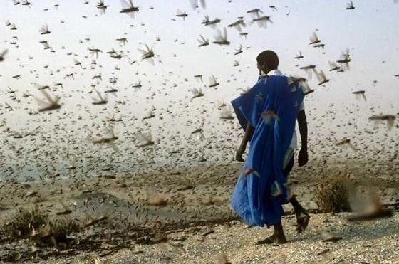 Animaux - Insectes - le criquet -