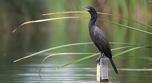 On en apprend tous les jours - Pourquoi les cormorans...