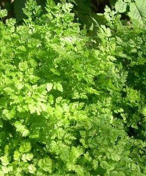Plantes et herbes aromatiques - Le cerfeuil  -