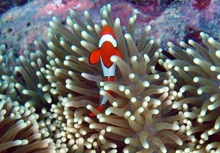 Monde marin - l'anémone de mer -