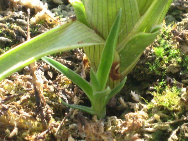 Les plantes carnivores - Brocchinia -