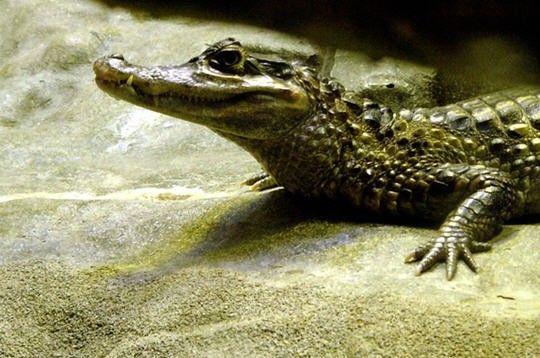 Animaux - Crocodiliens - le caïman à lunettes -