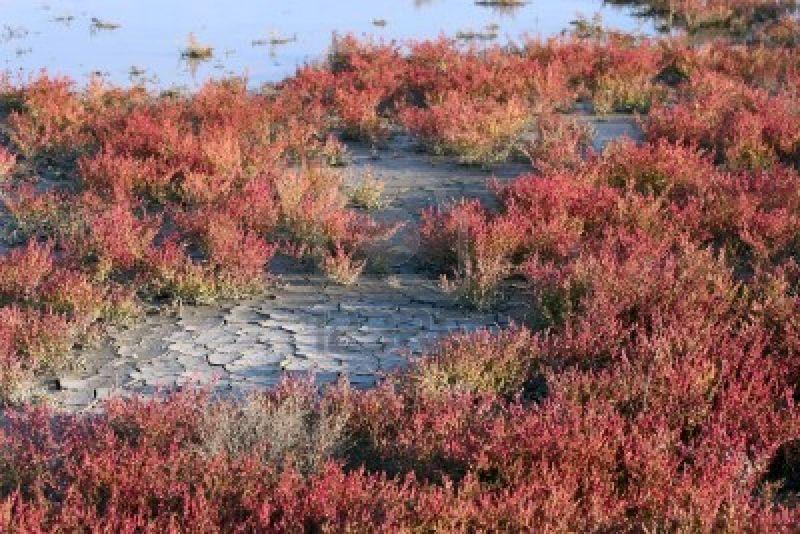1558927-salicornia-rouge-d-39-automne-dans-des-marais-salants-la-camargue-sud-de-la-france.jpg