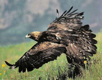Animaux - Oiseaux - L'Aigle royal -