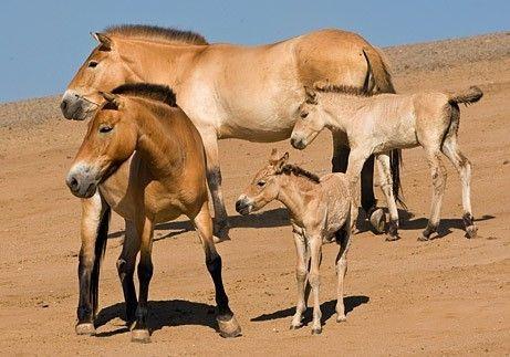 Animaux - Equidés - Le cheval sauvage -