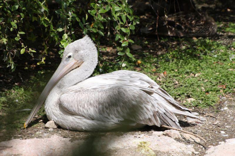 2-pelicans-gris-1-800x600.jpg