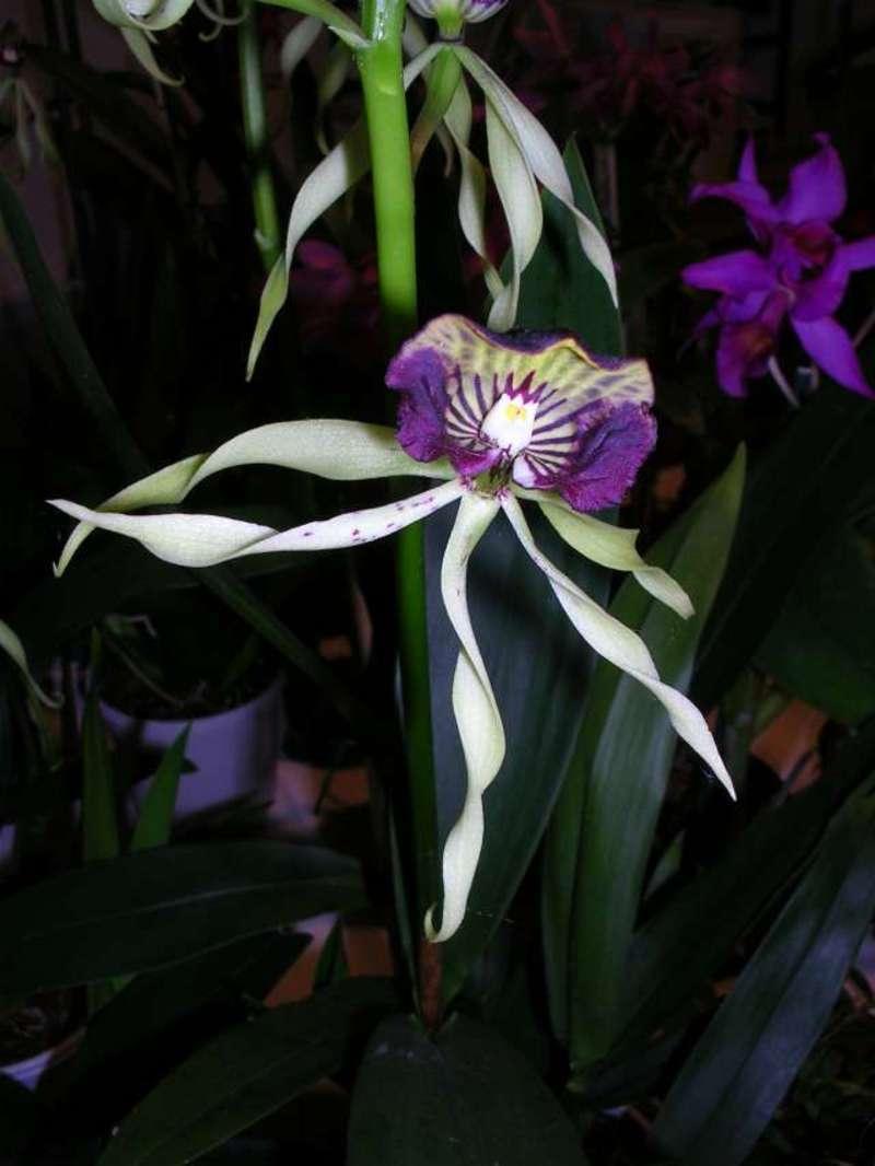 2007_-_Orchidees_-_038_PhotoRedukto.jpg
