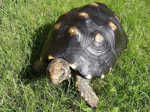 Tortues - tortue terrestre - Tortue Charbonnière -