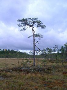 220px-Peatbogg-pine.jpg