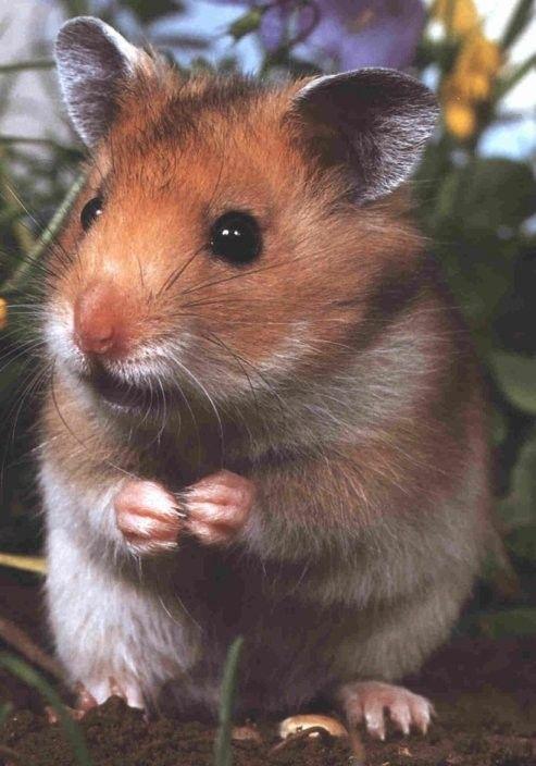 animaux de compagnie - N.A.C. - Le Hamster -