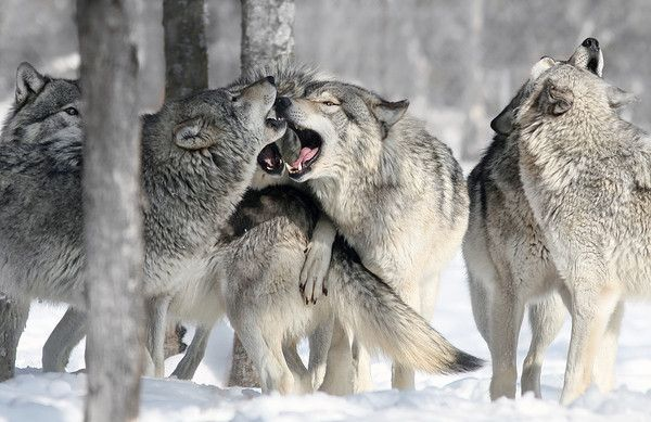 Animaux - Le Loup - Canis lupus -