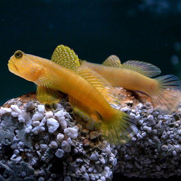 aquariophilie eau de mer - Le gobie -