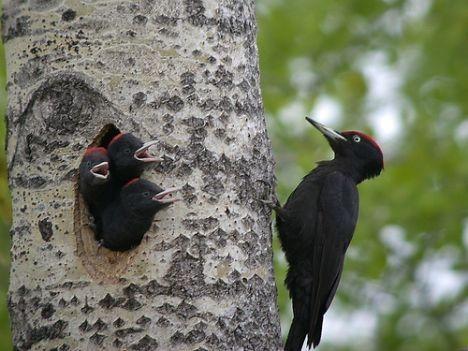 Animaux - Oiseaux - Le Pic noir -