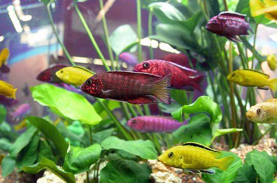 aquariophilie eau douce - les cichlidés -