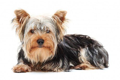 Animaux de compagnie - Chiens - Le Yorkshire terrier