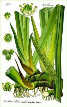 Phytothérapie - Acore odorant -