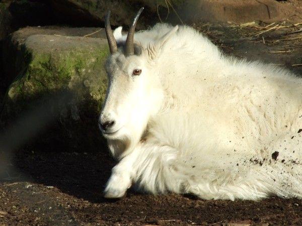 Mammifères - La chèvre des Montagnes Rocheuses