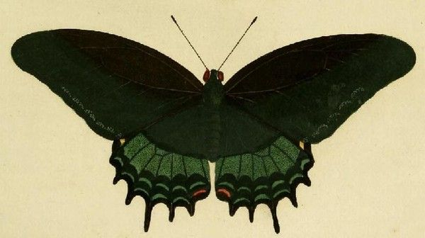 Animaux - Insectes - Papillon - Papilio androgeus -