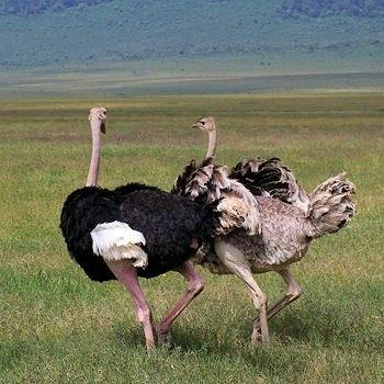 Animaux - Oiseaux - L'autruche -