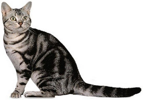 Animaux de compagnie - Chats - American shorthair -
