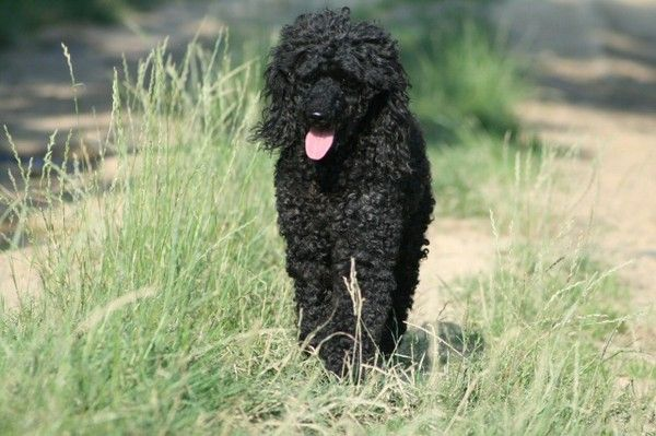 Animaux de compagnie - chiens - Le caniche -