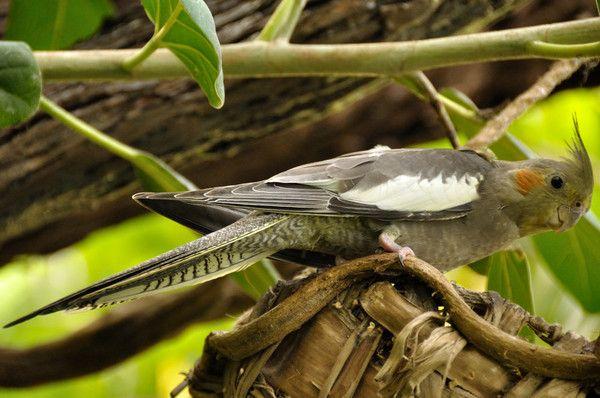 Animaux - Oiseaux - Calopsitte -