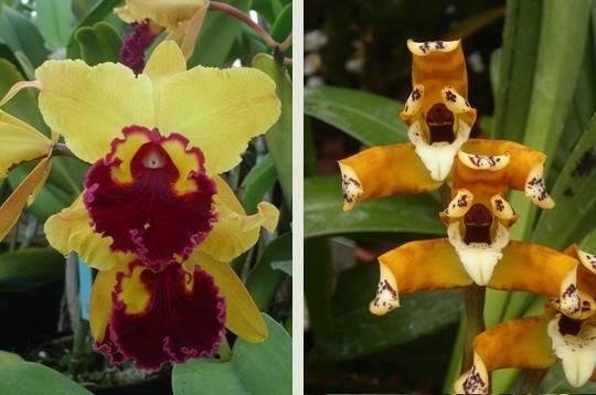 orchidee tete de lion