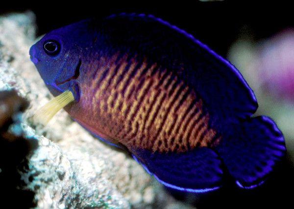 aquariophilie eau de mer - Les centropyges -