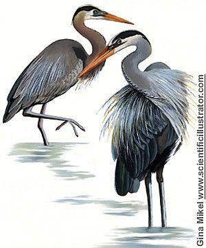 Animaux - Oiseaux - Le héron -