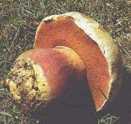 Champignons- Chapeau blanc - Bolet Satan -