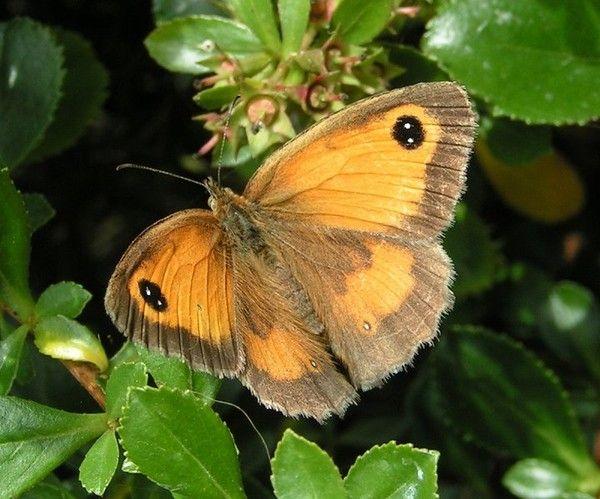 Animaux - Insectes - Papillon - Amaryllis -
