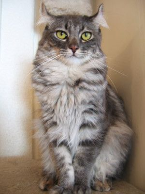 Animaux de compagnie - Chats - American curl -