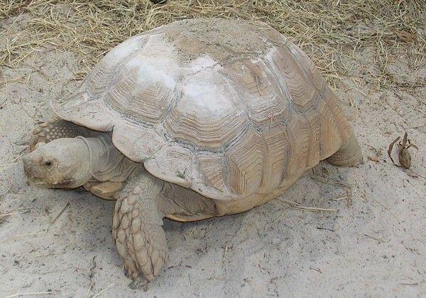 Tortues - tortue terrestre - tortue sillonnée -