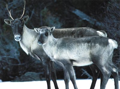 4152_caribou22-22561fe.jpg