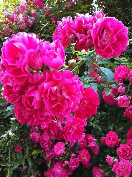 Au jardin - Les roses -