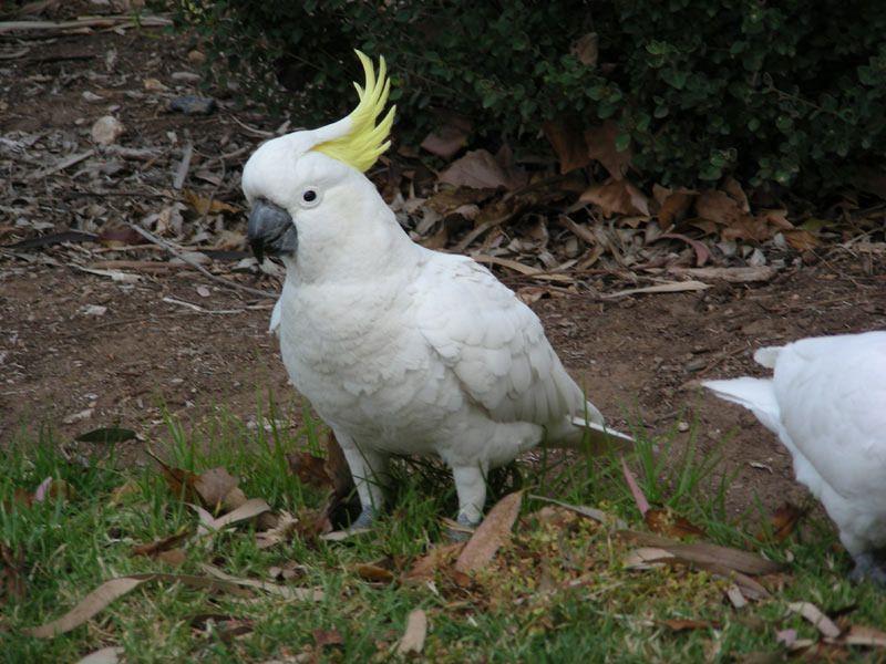 43_Grand_cacatoes_huppe_jaune--Sulphur_crested-Cockatoo--Cacatua_galerita.jpg