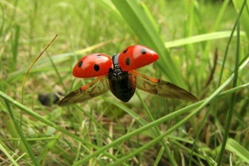Animaux - Insectes - La Coccinelle -