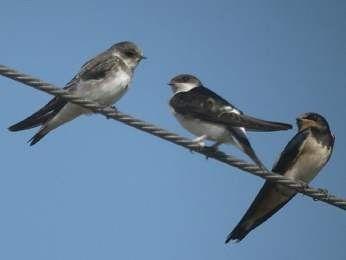 Animaux - Oiseaux - L'hirondelle -