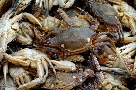 Animaux - Crustacés- Les crabes -