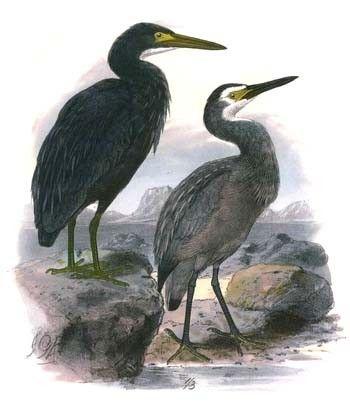 Animaux - Oiseaux - L'Aigrette à face blanche -