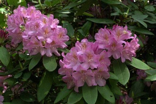 Arbres et arbustes - Le rhododendron -